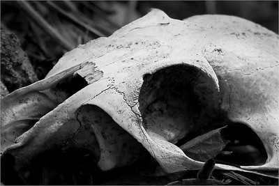 A prairie dog skull, shot as found in a natural area near my home.