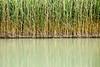 Reed, Lac de Perolles<br /> Konica Minolta Dimage A2