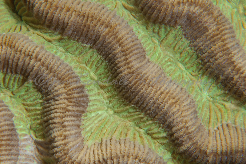 Symetrical Brain Coral Ultra-Macro_2