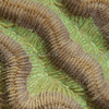 Symetrical Brain Coral Ultra-Macro_2