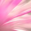 Falling into Pink Daisy Petals ...