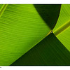 leaves crossing, banana tree