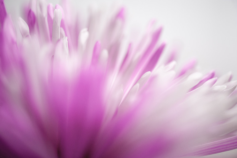 Falling into the Pink Daisy Petals ....