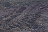 Turtle tracks - Urvina Bay, Isla Isabela, Galapagos, Ecuador