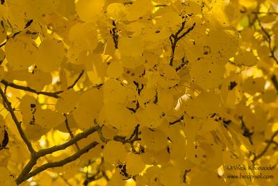 Aspen gold - Lone Pine, CA, USA