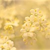 enchanting  elderflower