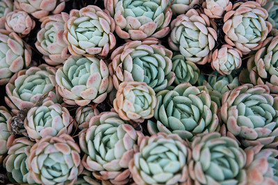 Succulents at Larnach Garden