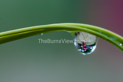 The dew drop