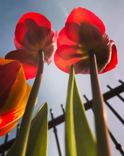Tall Tulips. 2017.