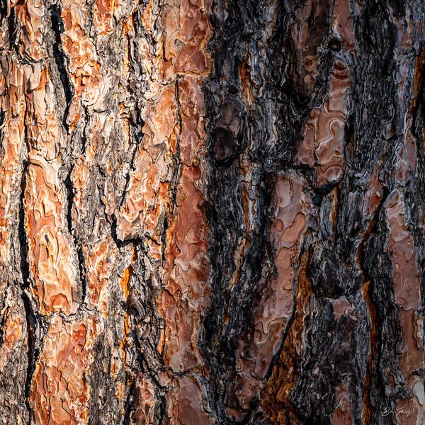 Pine Bark 1