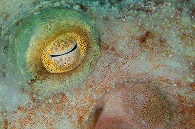 Octopus eye  - Bonaire Dutch Antilles