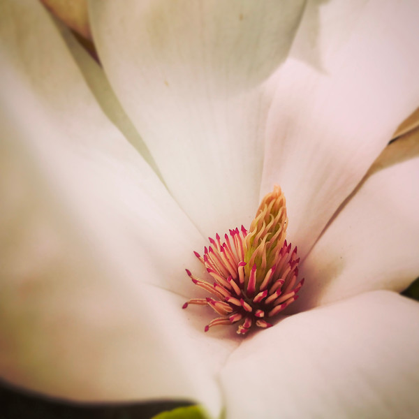 Inside a Magnolia Flower. 2017.