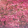 Pink Dogwood Dream