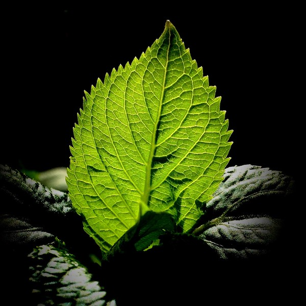 Backlit Leaf. 2013.