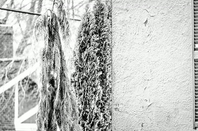 Textures, wall and evergreens, mono