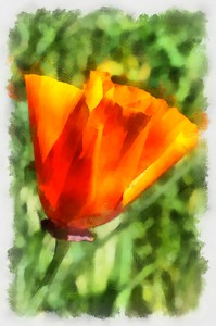California Poppy 4 - Abstract_DAP_Aquarell