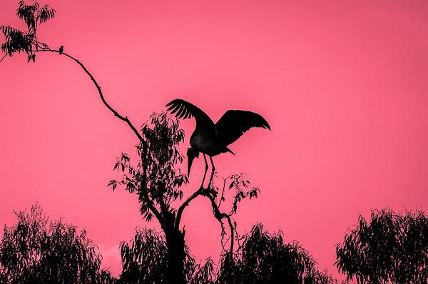 Ugandan Pelican