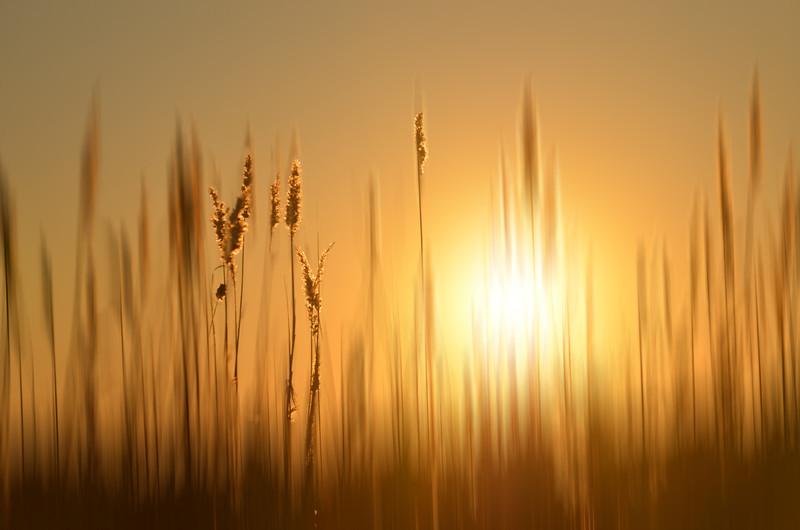 marsh grass in sunset