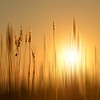 marsh grass in sunset