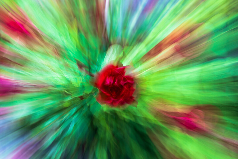red rose abstract,