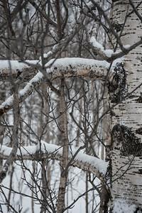 Birch, Russia