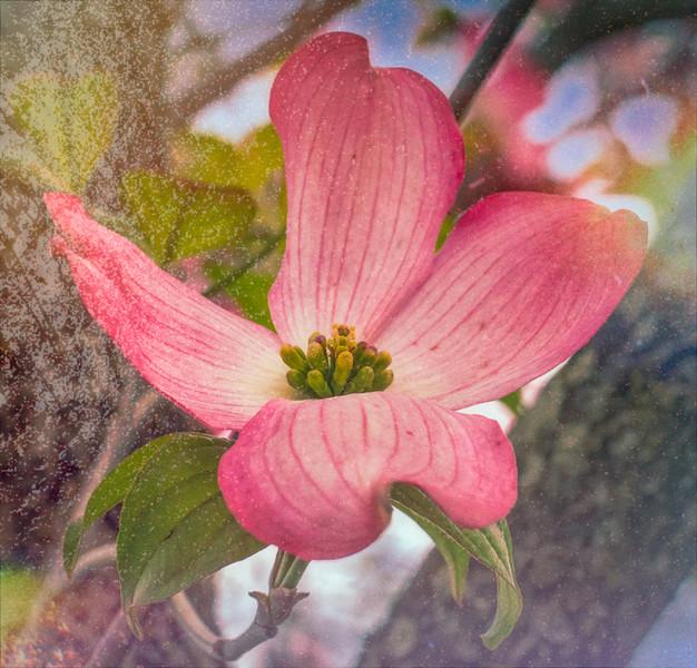 Pink Dogwood Bloom