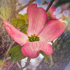 Pink Dogwood Bloom Abstract