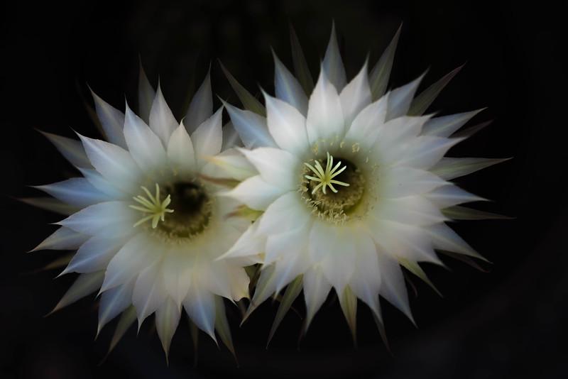 Desert Cactus Flower