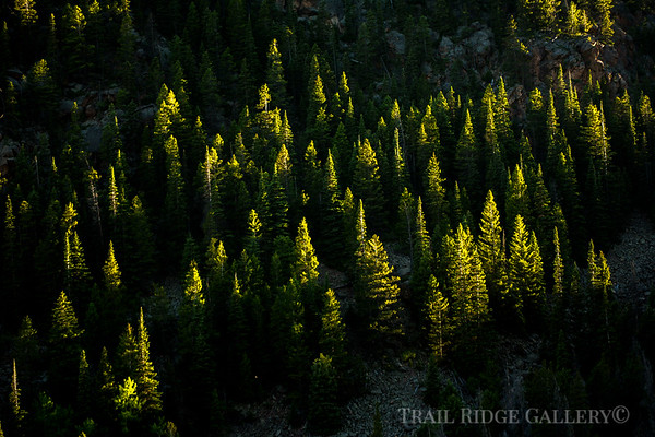 Evening Light on Spruces