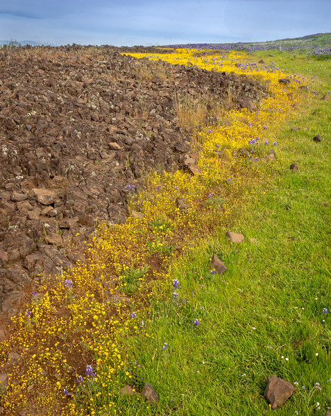 Snaking Yellow WIldflowers and Volcanic Rock