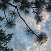 Pine Tree and Needles under Cloudy Sky