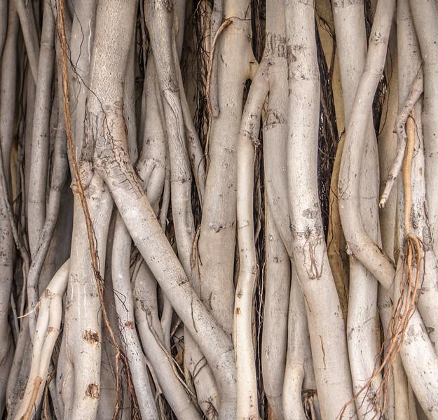 Banyan Tree Study, Honolulu HI