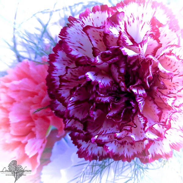 Carnations, Abstract
