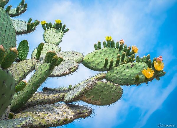 Lozanía de Cactus