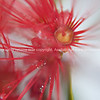 Red flower abstract. Pohutukawa.