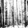 Tall trees in oak forest monochrome illustrative style image