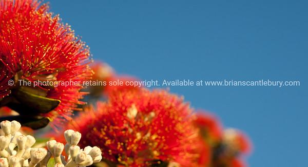 Pohutukawa bloom against blue sky.