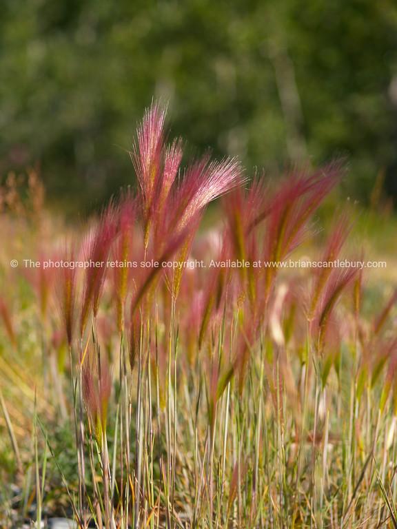 Barley grass in the Yukon Territory.