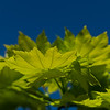 Bright green maple leaves from underside in selective focus against deep blue sky.