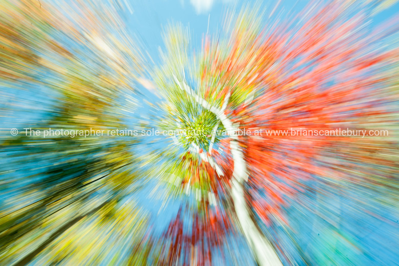 Vibrant nature abstract. Birch trees in fall, Maine.