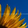 Sunflower petals against blue.