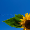 Sunflower, against blue sky.
