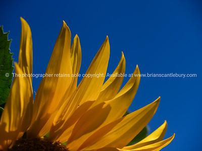 bright yellow petals.