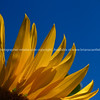 Sunflower, bright yellow petals, against blue sky