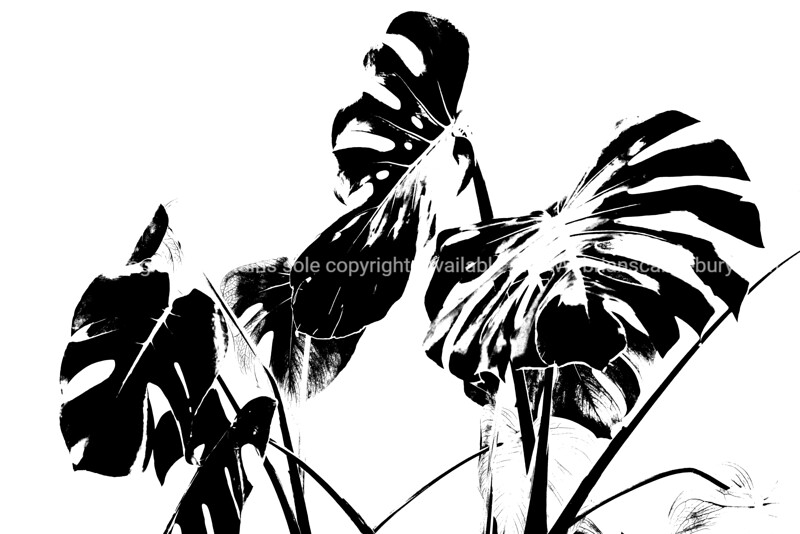 Monstera  leaves illustrative style photograph