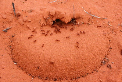 red ant hill