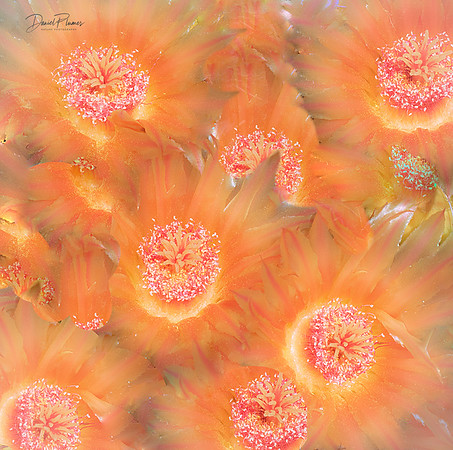 Barrel Cactus Blooms Abstract