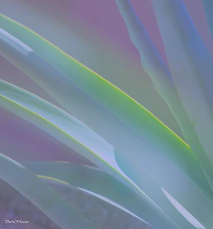 Soft Yucca