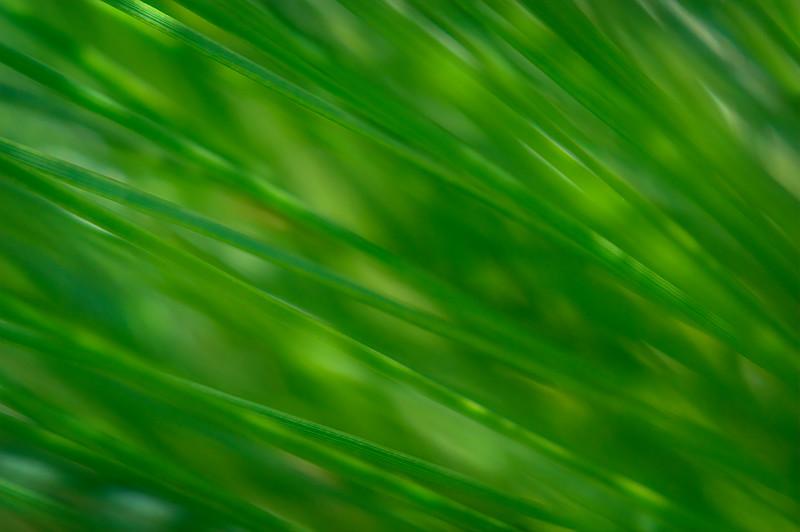 Abstract of extreme close-up of slash pine tree needles at Babcock Wildlife Management Area near Punta Gorda, Florida