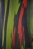 """""""Rainbow Eucalyptus"""""""